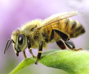 abeille d'hiver