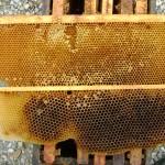 283 rayons de bourdons surnumeraires à detruire pour lutter contre varroa