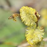 14 Saule Marsault excellent pollen signe le début de la saison apicole.