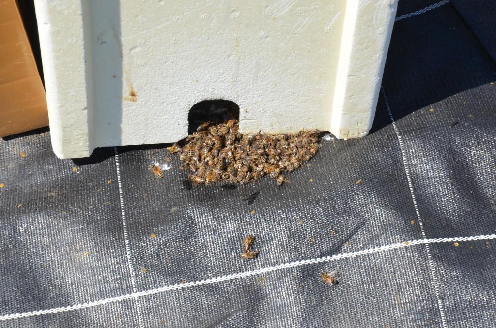 mortalite ruche morte_DSC_3786